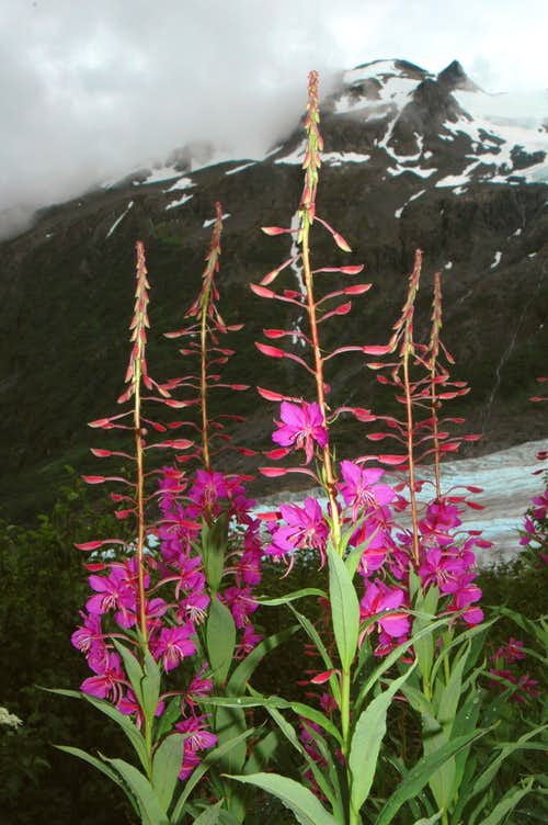 Fireweed at Exit Glacier