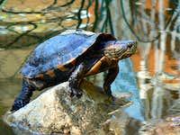 Brazilian water turtle