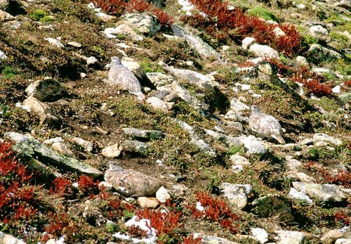 Camouflaged white-tailed ptarmigans
