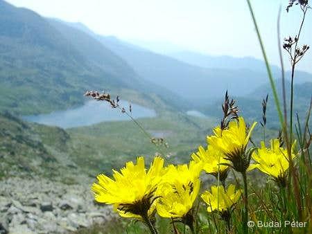 Flowers in the side of Bucura peak