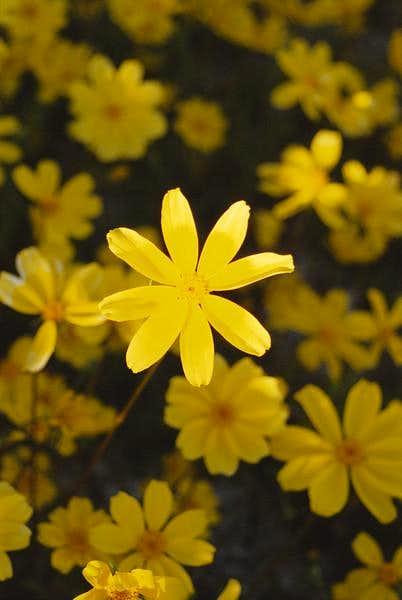 Death Valley Wildflower