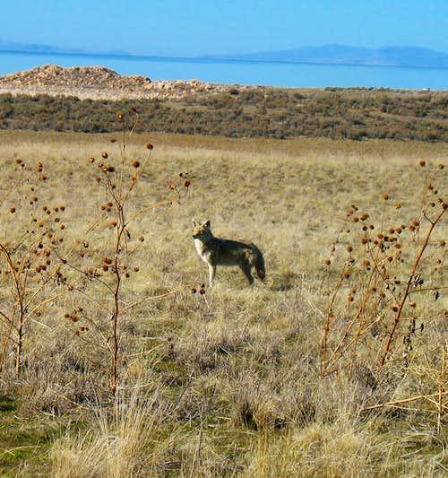 Antelope Island Coyote