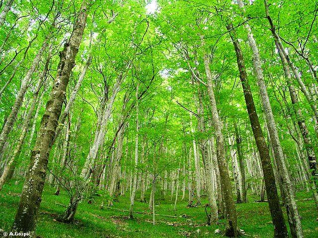 Velika Paklenica beech forest