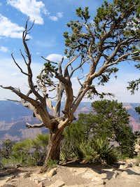 Hermit Trail Twisted Tree