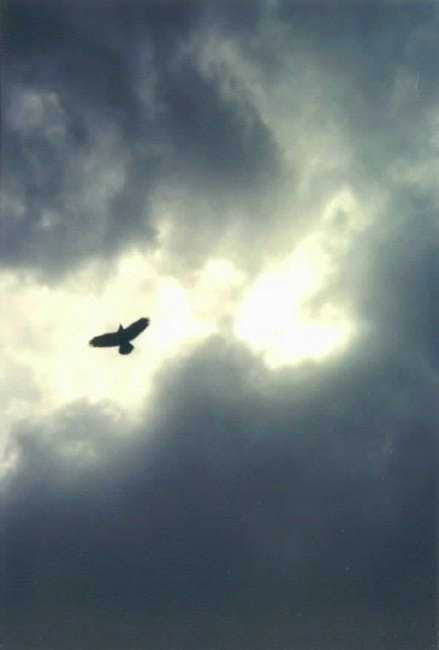 a hawk flying overhead above...