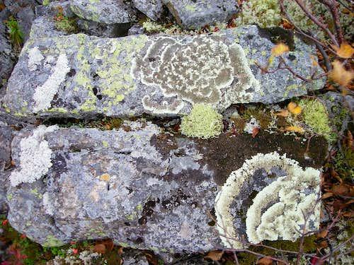 cool lichen