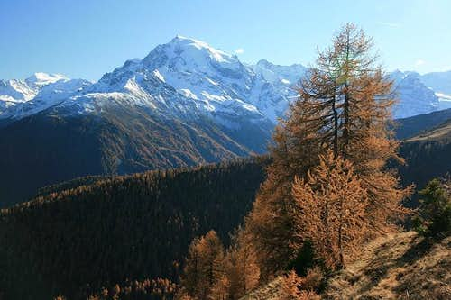 autumn larch trees at Ortler
