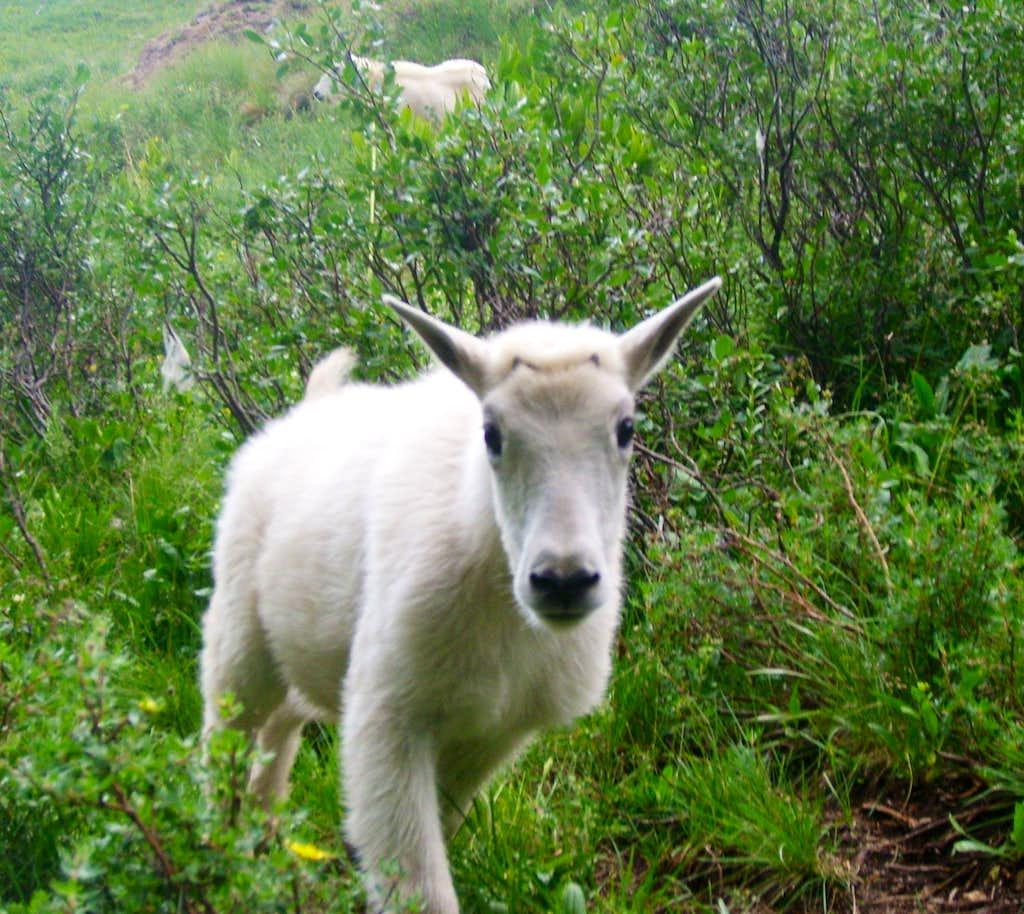 Baby goat in Chicago basin