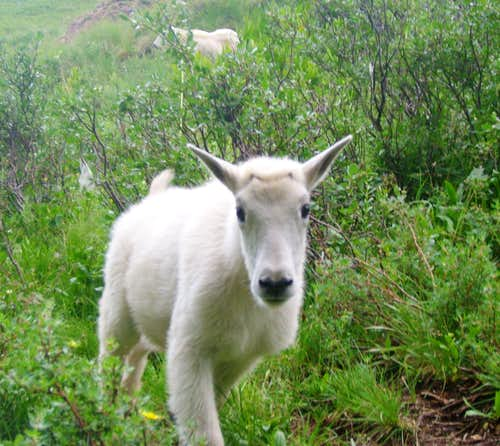 Baby goat in Chicago basin
