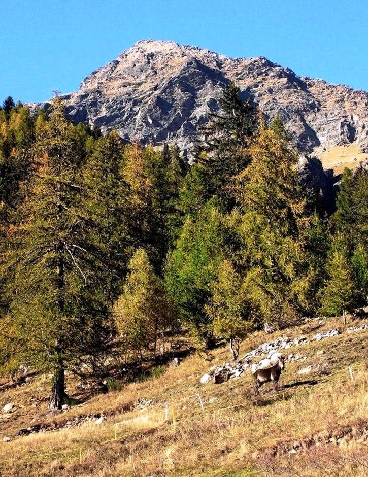 Mule under Punta delle Pisse.