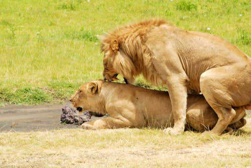 Lions in Nogorongoro Crater