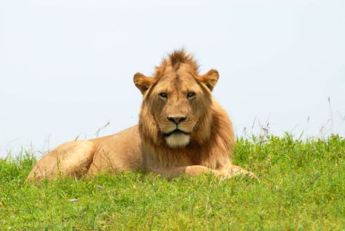 Male lion in the Ngorongoro Crater