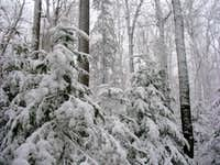 Snow on the Pines...