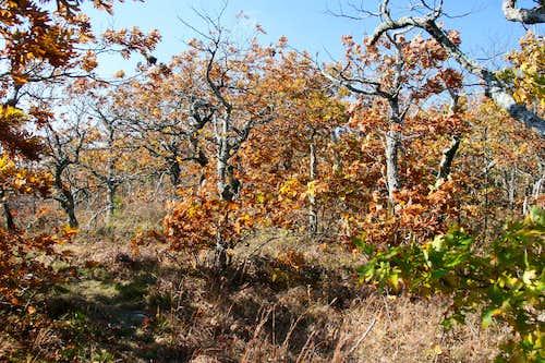 Dwarf Oak Forest on Rich Mountain