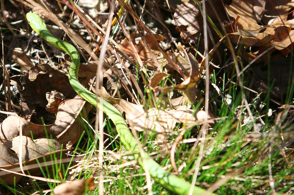 Rough Green Tree Snake