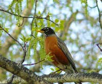 Robin in the spring