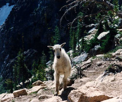 Mountain Goat - kid