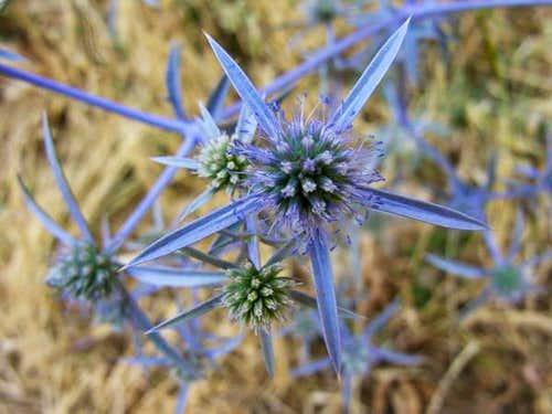 iran's mountain flora