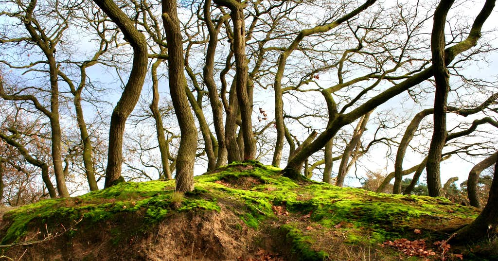 Old oaks swalowed bij the dune