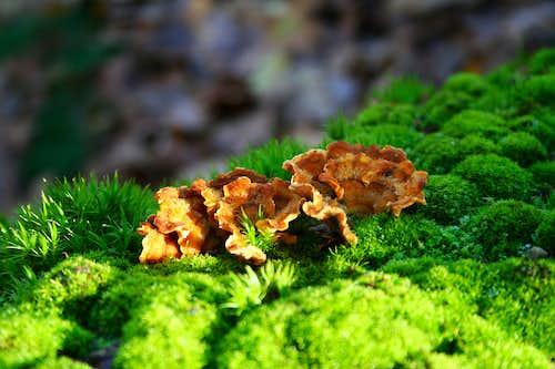 Trametes versicolor in moss