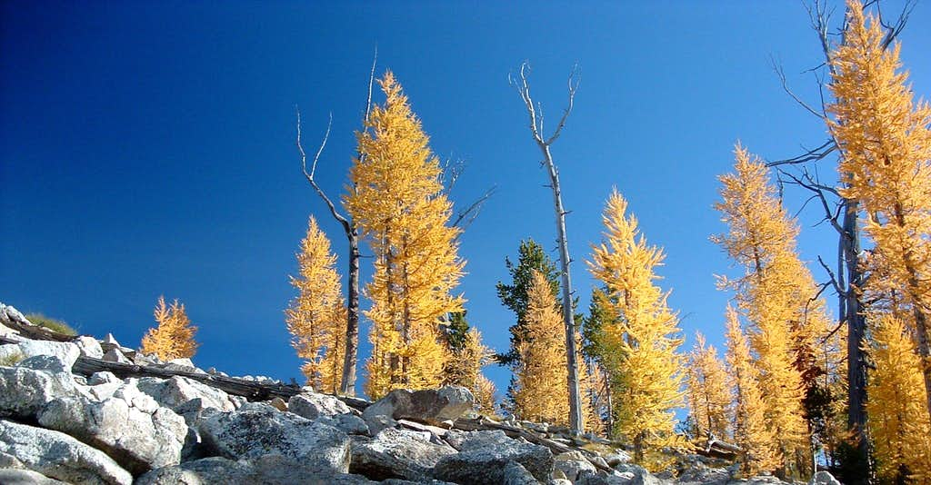 Larch in Color