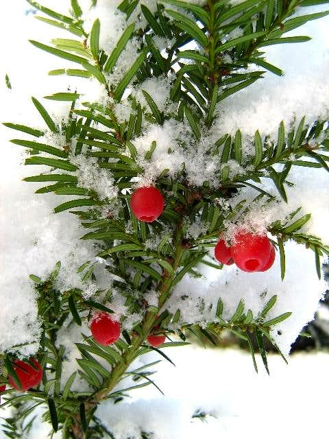 First snow on a Yew-Tree