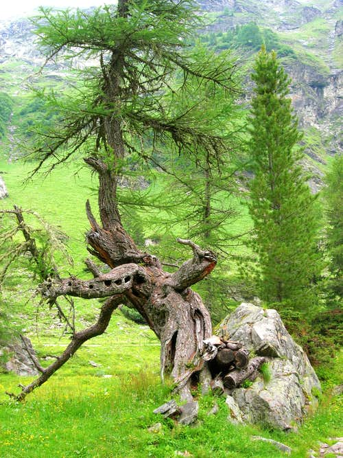 Old tree in Tauern valley