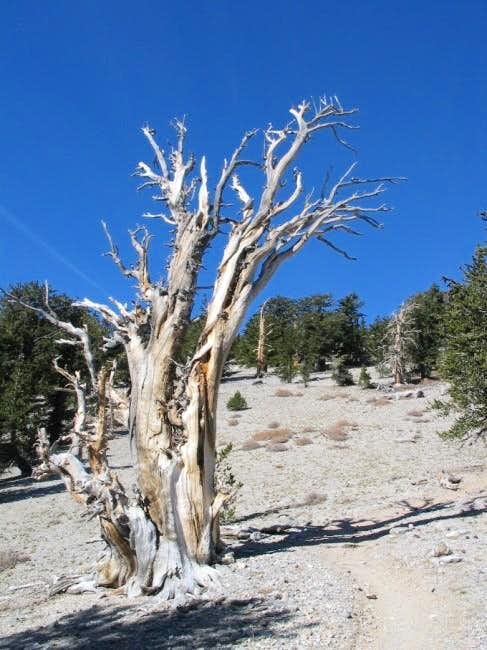 Ancient Bristlecone pine...