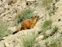 Marmot in Mountains of Northern Areas of Pakistan