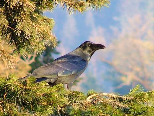 Crow in the mountains of North Pakistan