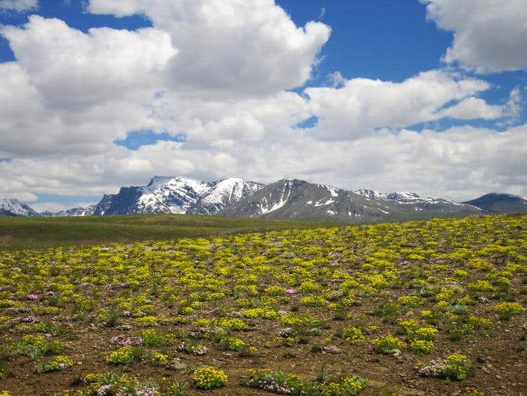 Wild flowers in Deosai Plains