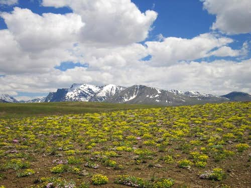 Wild flowers in Deosai Plains
