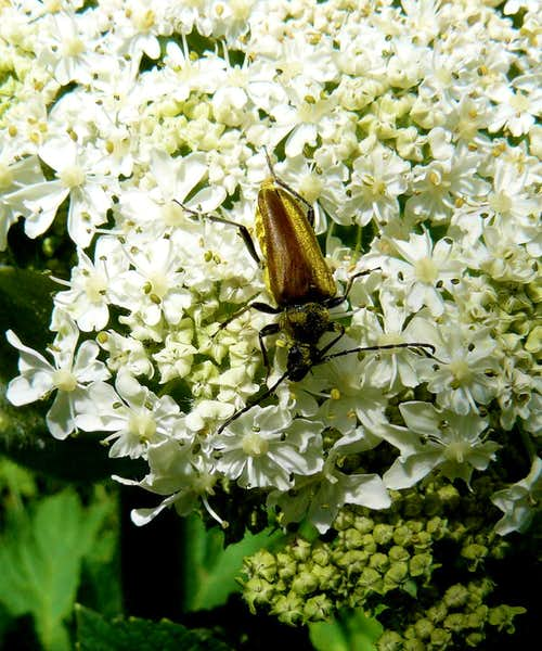 Cow Parsnip & Friend
