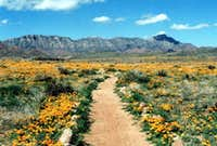 Poppies in bloom at the Franklin Mountains