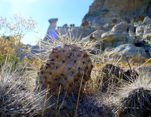 Prickly pear with hoodoo backdrop