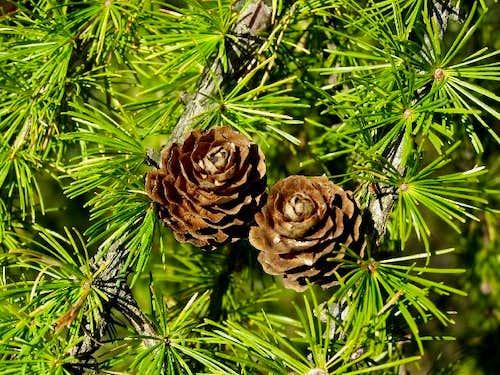 Ripe Pine Cones of European Larch Tree