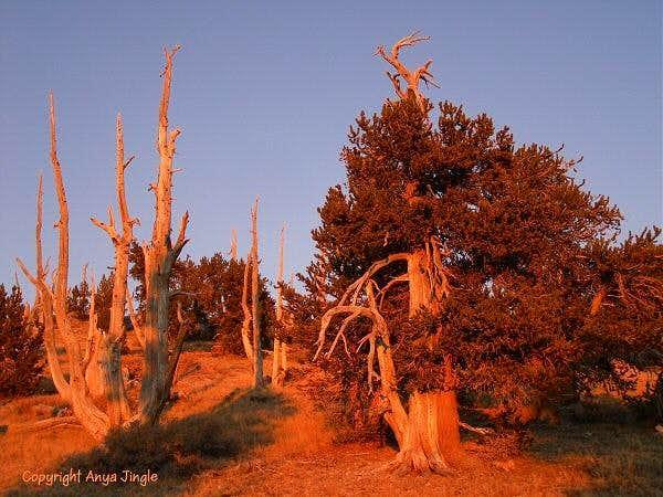 Bristlecone Pines at sunset