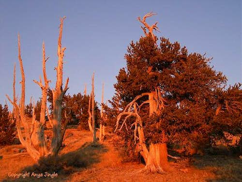 Bristlecone Pines at sunset