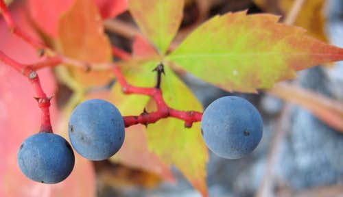 Virginia Creeper Berries Close-up