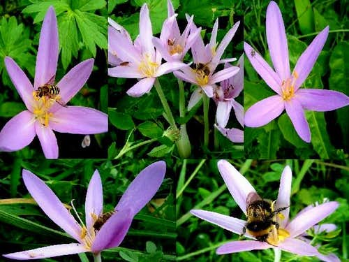 Autumn Crocus and insects of the Low Beskid