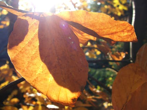 Leaf of Fagus sylvestris (bükk)