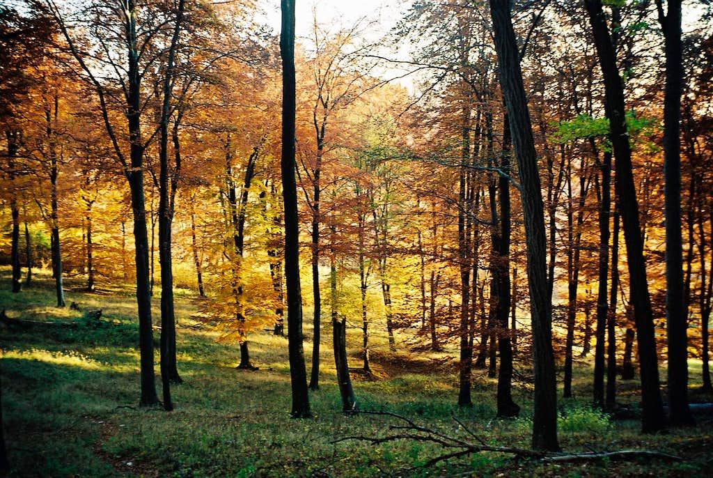 Fagus sylvestris forest