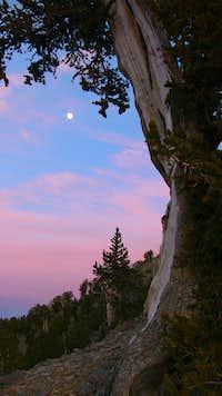 Moonlight Bristlecone