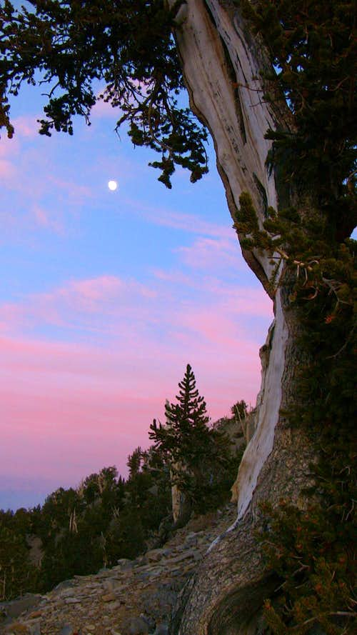 Moonlight Bristlecone