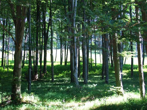 Fagus sylvatica forest