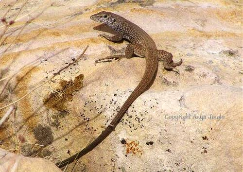 Western Whiptail- adult