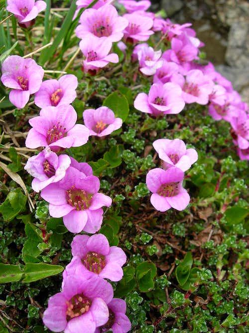 purple saxifrage <b><i>Saxifraga oppositifolia</i></b>