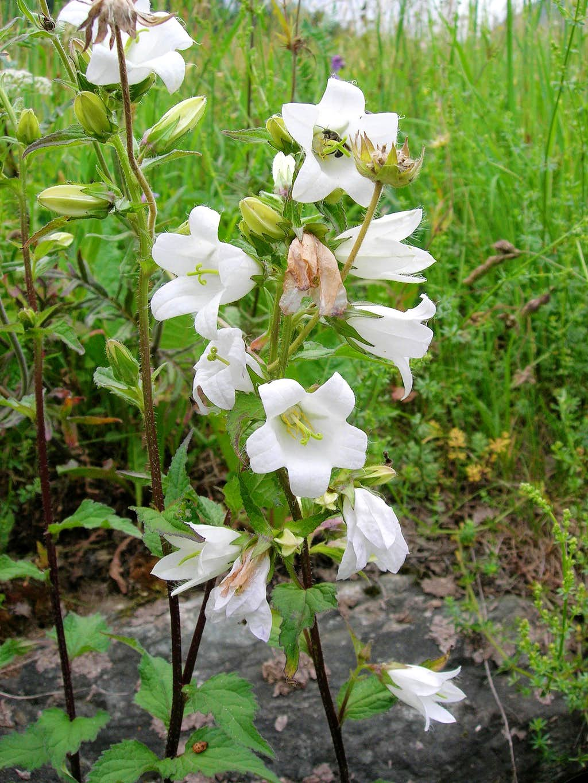 White Bell Flower Photos Diagrams Topos Summitpost
