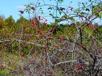 Csipkebokor (thorn-bush)