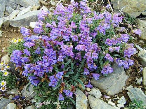 Thompson\'s Beardtongue